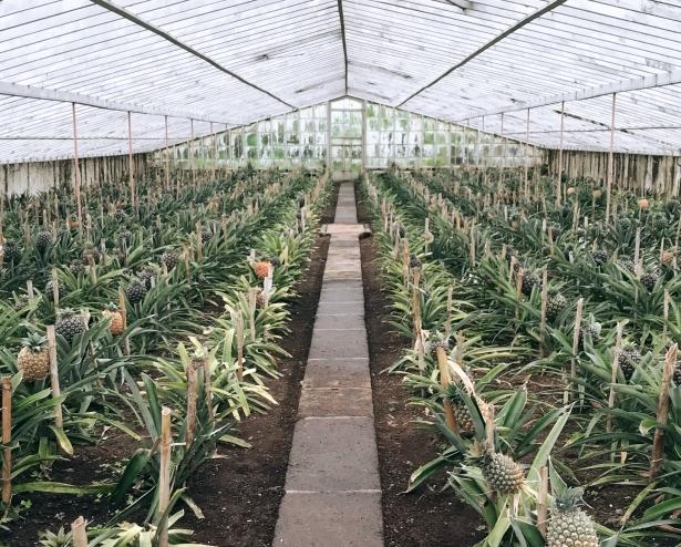 Plantação de Ananás Fajã de Baixo